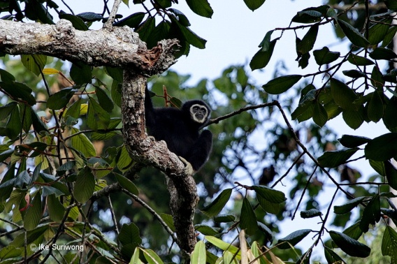 """The """"Old Man of the Forest"""", the Lars Gibbon, is heard all throughout the jungle and with some patience, can be found in the canopy."""